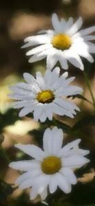 Hechizo con flores para enamorar