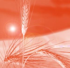 Conjuro para la suerte en el amor con granos de trigo