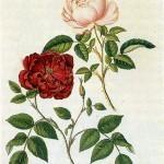 Rituales con rosas