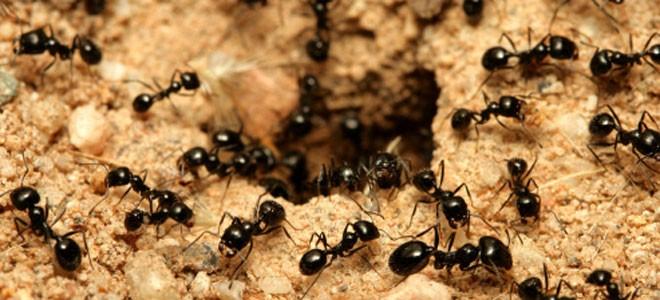 50711-sonar-hormigas