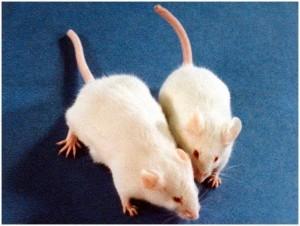 ratones-blancos