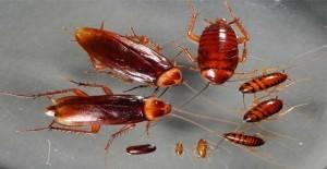 Cucaracha-glucosa