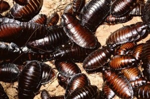 nuevas_cucarachas