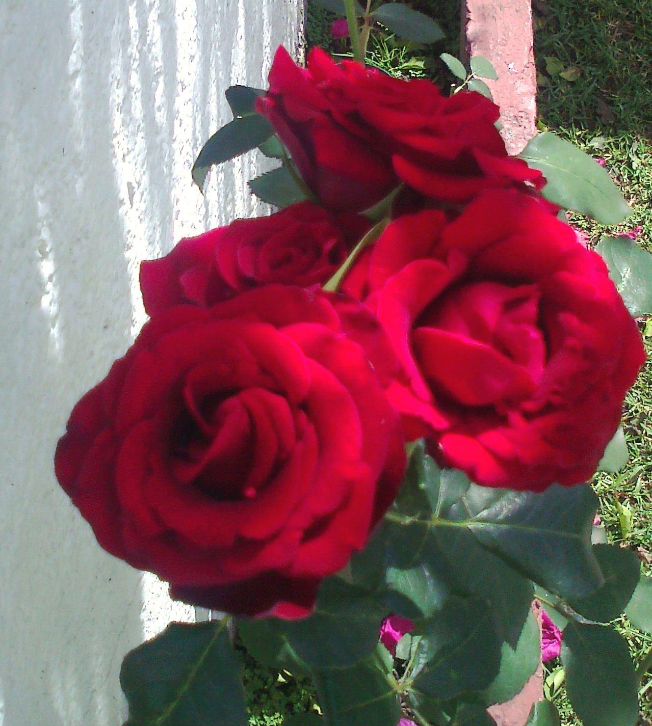 Hechizo de amor con rosas rojas